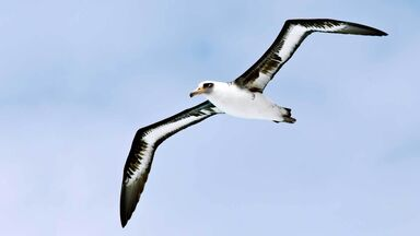 Laysan Albatross flying against blue sky