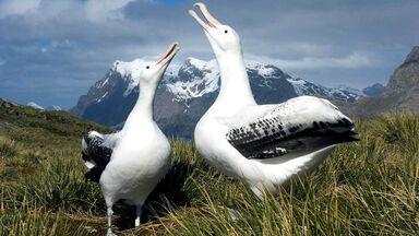 two Wandering Albatross standing