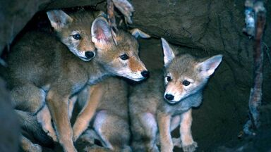 coyote baby facts shows pups in den