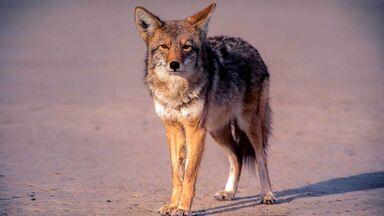 wild coyote standing in desert