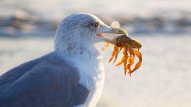 omnivore gull holding crab