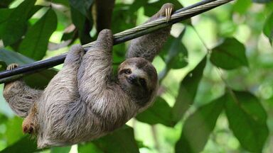 omnivore sloth hanging from tree