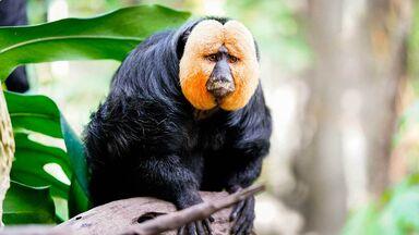 omnivore white-faced saki monkey