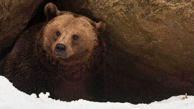 bear in den winter