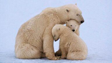 polar bear mother and twin cubs