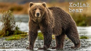 kodiak grizzly bear
