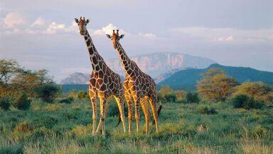 reticulated giraffes in Buffalo Springs National Reserve Kenya