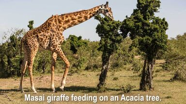 masai giraffe feeding on an acacia tree