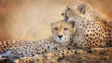 cheetah mother and son Kenya