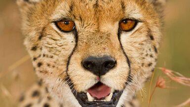 cheetah markings eyes sun protection