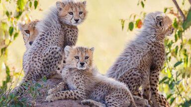 cheetah cubs with mother Kenya