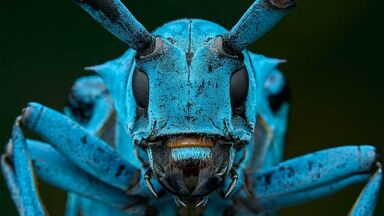 close up blue longhorn beetle