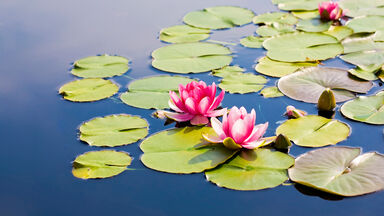water lily plant adaption example