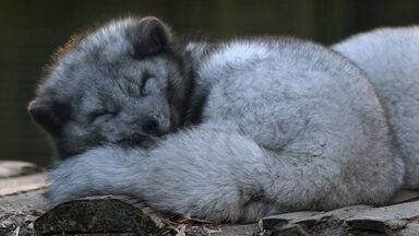 arctic fox sleeping