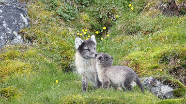arctic fox mother and pup