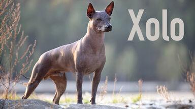 xoloitzcuintle xolo mexican hairless dog