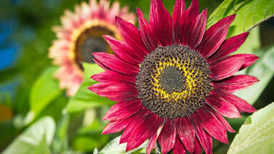 colorful red sunflower