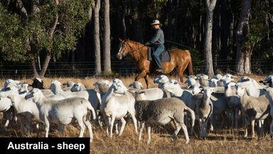 rancher on horse herding sheep Australia
