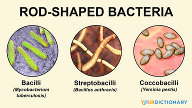 examples of bacteria that are rod-shaped
