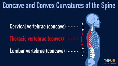 concave convex curvatures of spine