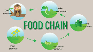 food chain producers and consumers