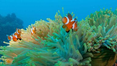 clownfish and anemone symbiosis example
