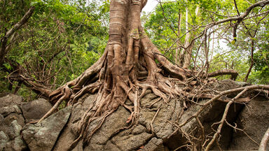 example physical weathering banyan tree roots growing on rock