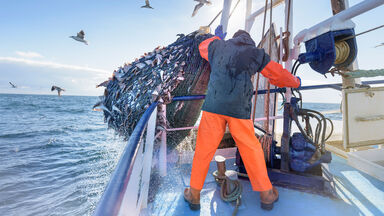 commercial fisherman emptying net full of fish into hold on trawler