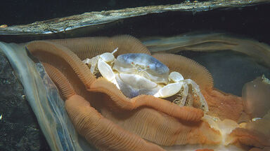 parasitism example of a pea crab on horse mussel
