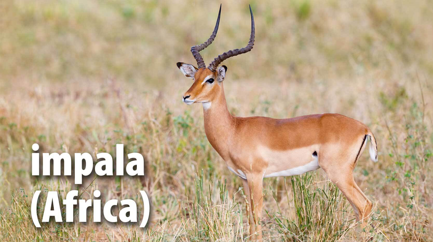 impala mammal from Africa