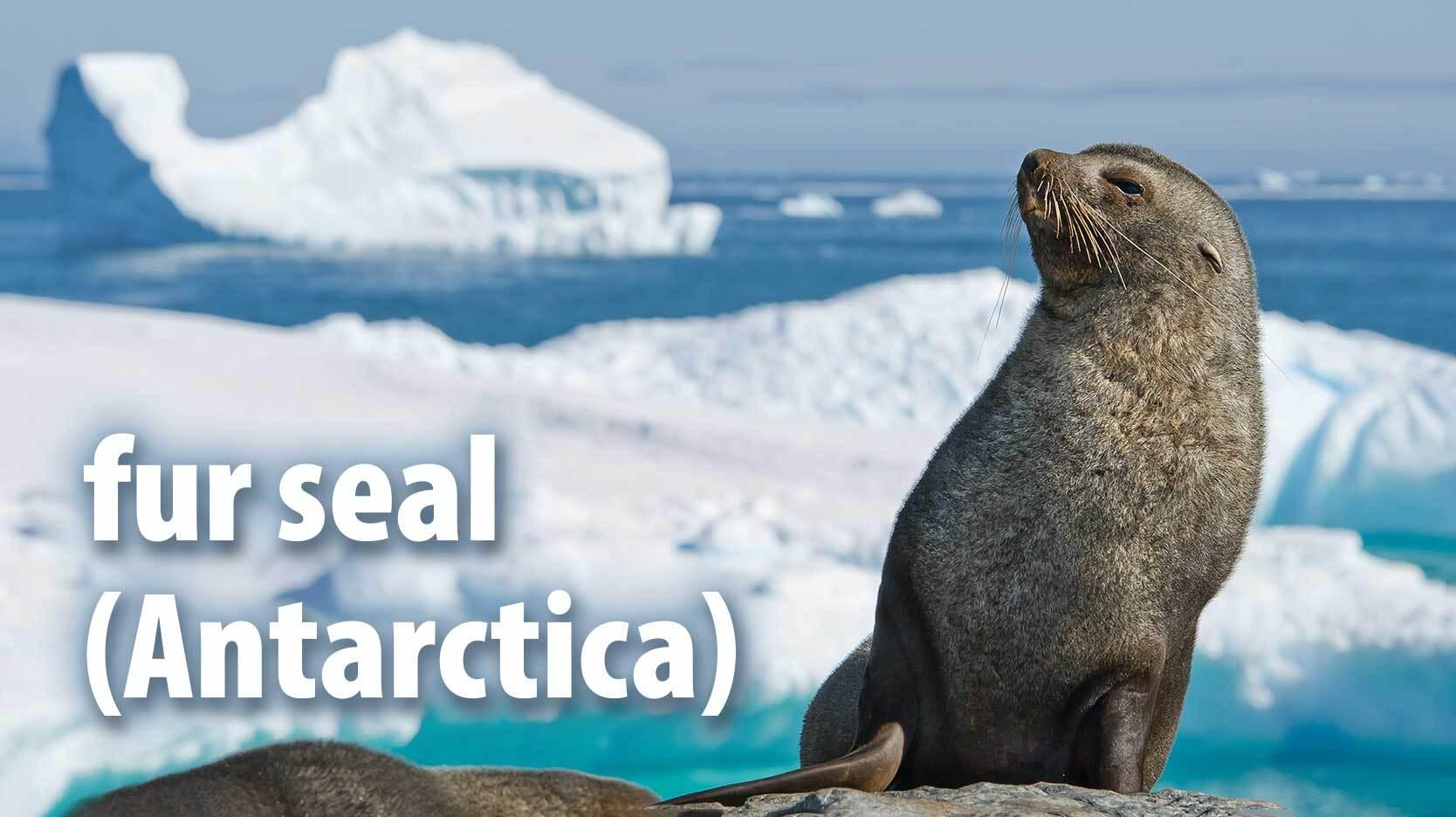 fur seal mammal Antarctica