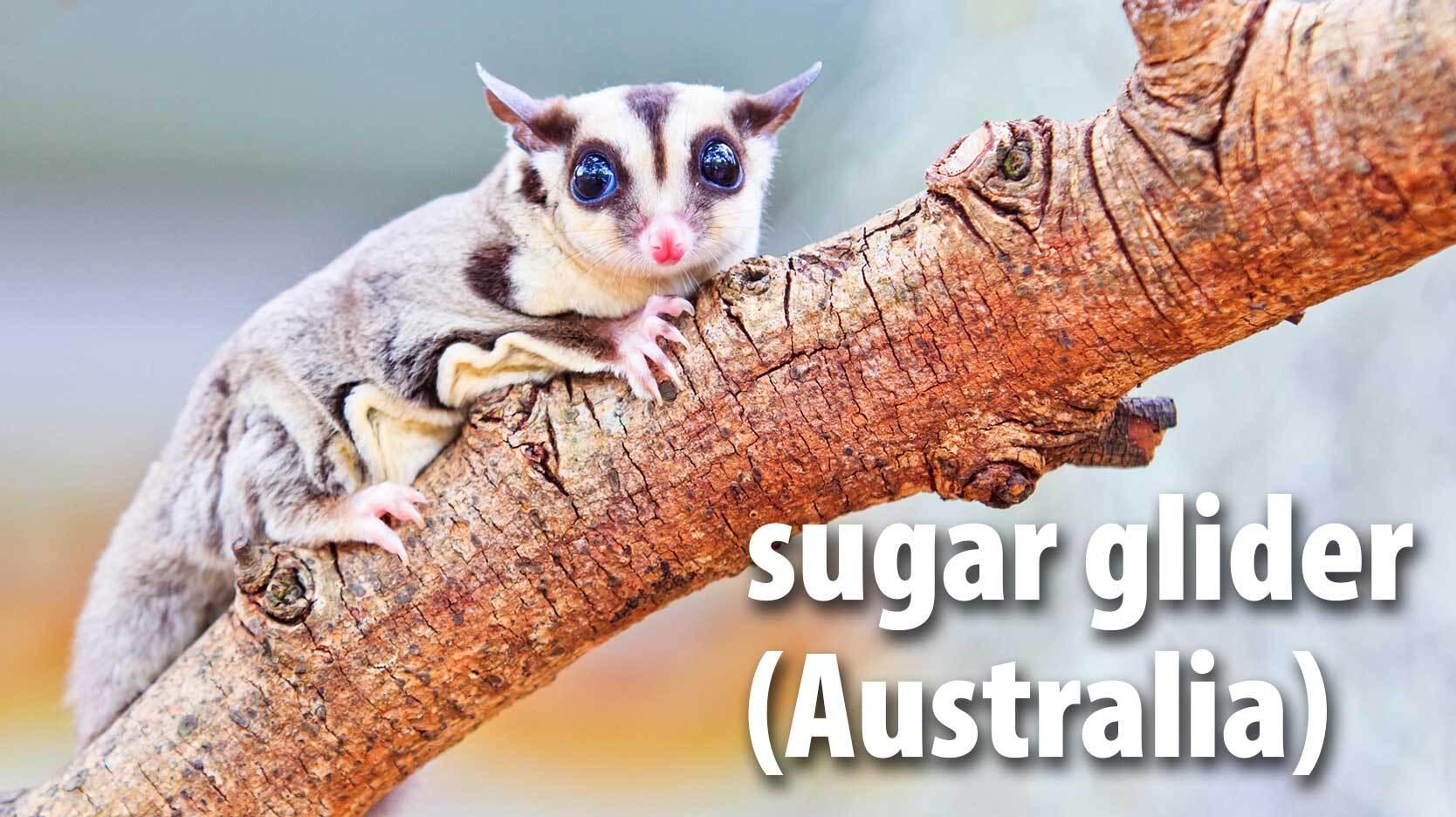 sugar glider mammal Australia