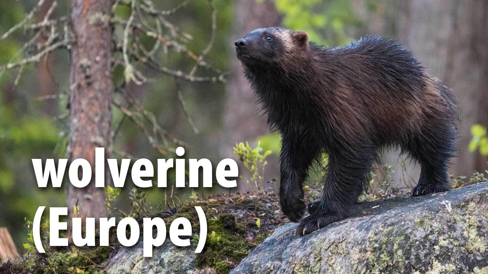 wolverine mammal Europe