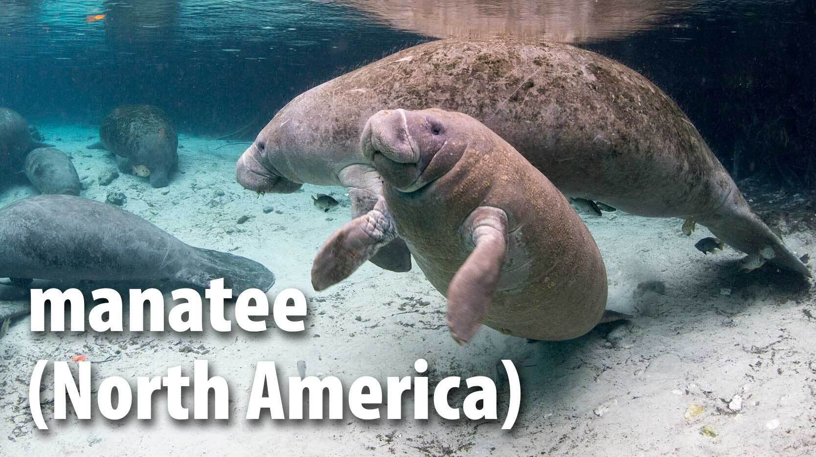 manatee mammal North America