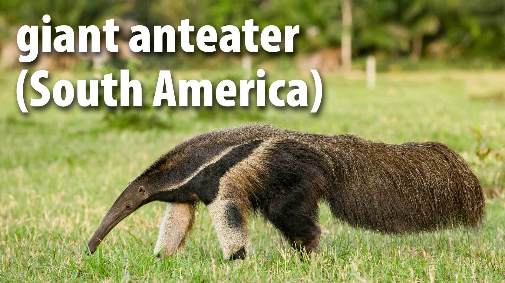 giant anteater mammal South America